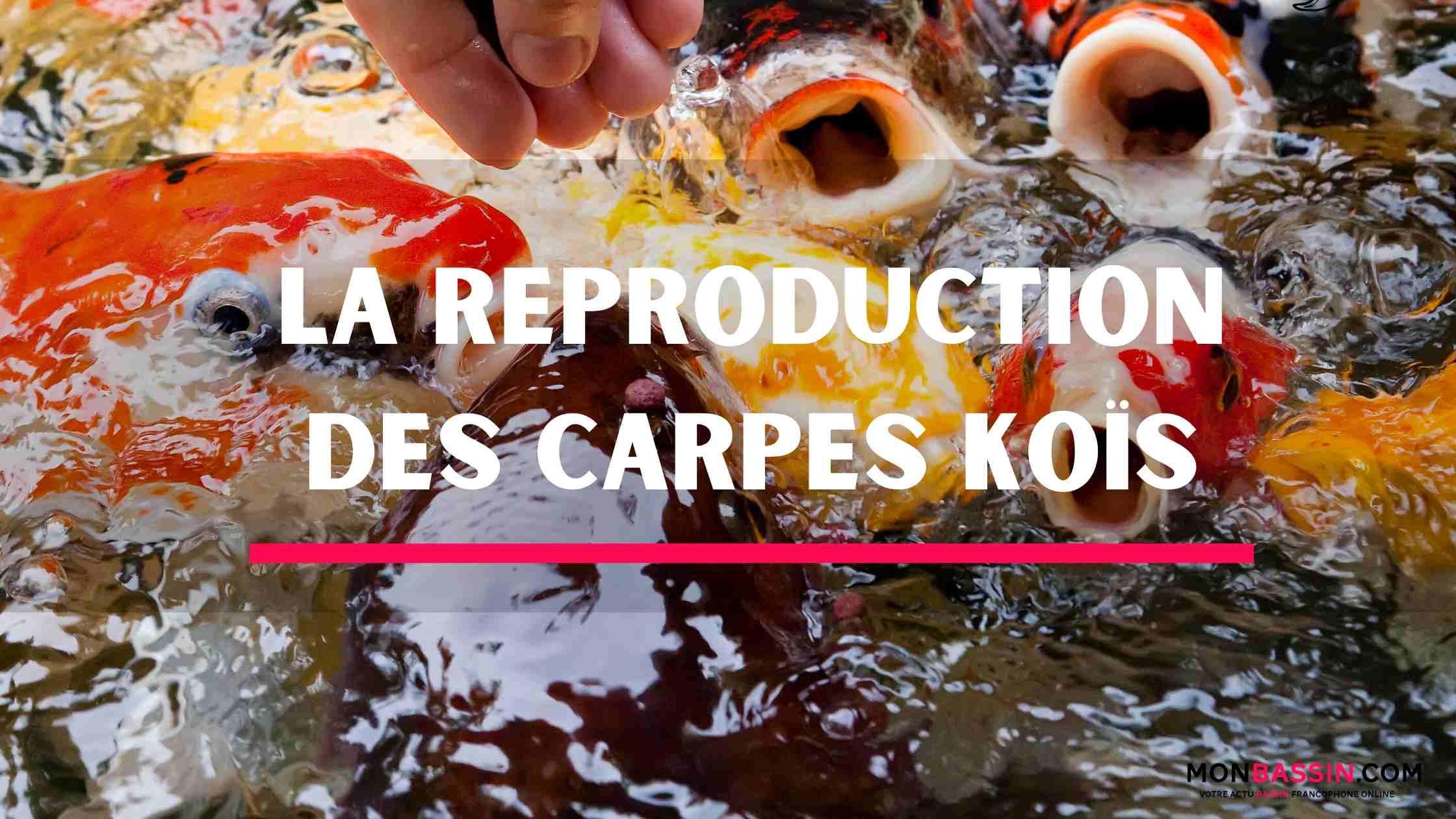Comment faire reproduire des carpes koïs?