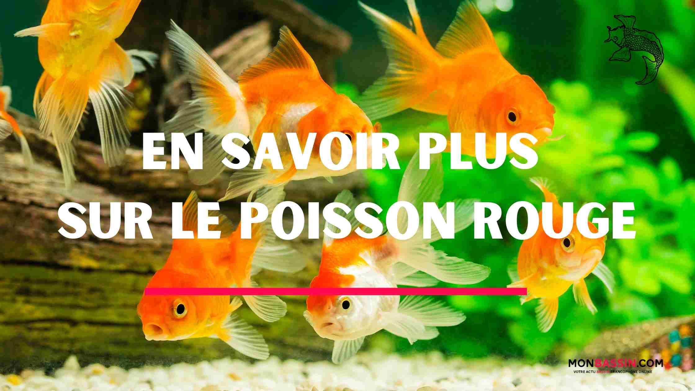En savoir plus sur le poisson rouge